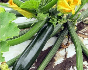 Dark Green Zucchini Heirloom Seeds - Non-GMO, Open Pollinated, Untreated