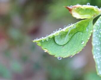 "Dew drop leaf 8.5""x11"" photograph"