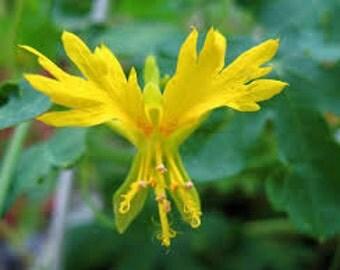 Canary Creeper Seeds, Nasturtium, Tropaeolum Peregrinum, Vine Seeds
