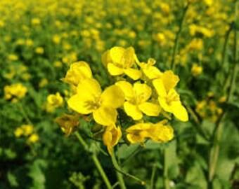 Yellow Mustard Seeds, Sinapis alba L., Brassicaceae, Greens, Pickling, Culinary Herb, Organic