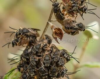 Australian Native Bees swarming on flowers