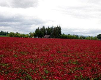 Crimson Clover Seed Raw
