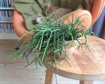 Rhipsalis cassutha - 1 cutting - 10 cm