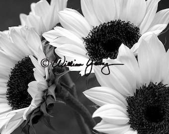 Monochrome Sunflowers, Black and White, Fine Art, Black and White Photo, Black and White Sunflowers, Black and White Flowers, Wall Decor