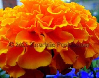 Marigold - Photographic Print