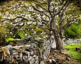 Tree by the Stone Wall, Inishowen, Co. DONEGAL, Ireland Photography, Rural Landscape, Ancient Graveyard, Old Cemetery,St Patrick's,Pub Decor