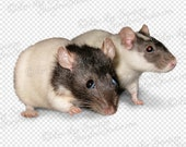 SALE | Pet Rats Clipart Photo | Digital Download Stock Photo | Animal Clip Art | Rodent Photo | Transparent Background PNG File