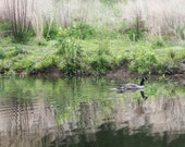 Nature Photography, Canada Goose, Lake Art Print, Reflections, Water, Green Grasses, 8x10 to 20x24 - Gliding