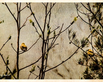 Two in the Bush (Birds  -Goldfinch - digital Painting - Watercolor - nature - photography - Trees -winter)