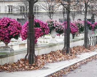 Paris Photography, Pink Mums Paris Print, Large Art Print Fine Art Photography, Affordable Art