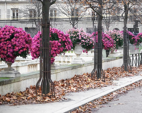 SALE! Paris Photography, Pink Mums Paris Print, Large Art Print Fine Art Photography, Affordable Art
