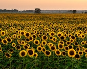 Sunflower Sunset - Michigan Photography - Stock Photography