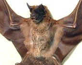 Real Framed Taxidermy Bat Otomops Formosus Furry Large Eared Bat Archival Museum Shadowbox Display B1309