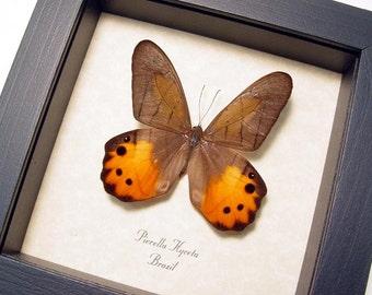 Real Framed Pierella Hyceta Golden Lady Slipper Butterfly Shadowbox Display 650