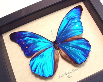 Real Framed Blue Morpho Rhetenor Cacica Butterfly Shadowbox Display 8153
