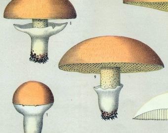 1895 Vintage Botanical Print of Mushrooms. Edible Fungi.  Boletus Subluteus and Luteus. Plate 33