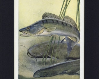 1949 Natural History Pike-Perch and Wels Vintage Fish Print