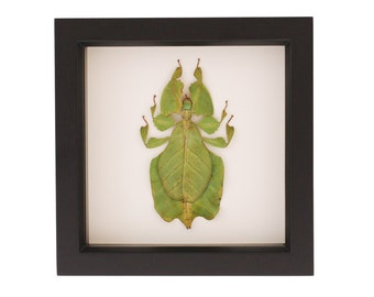 Walking Leaf Taxidermy Insect Framed Shadow Box Phyllium Pulchrifolium