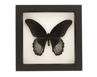 Framed Black Butterfly Papilio rumanzovia Display