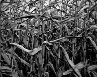 corn field photo, black white nature, corn stalk photo, nature photo, thanksgiving, harvest, farm, corn, autumn, canada, home decor, moody