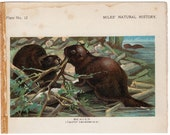 1895 beaver print original antique rodent animal lithograph print - castor canadensis - north american beaver