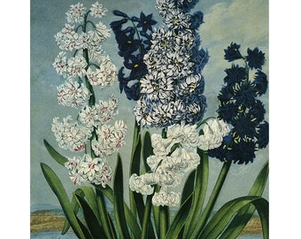 "Temple of Flora ""Hyacinths"" Botanical Print SALE-Buy 3, get 1 free"