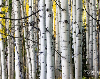 Aspens All In a Row (photograph, color or black & white, various sizes)