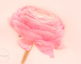 pretty pink ranunculus  -flower photography -  flower photo -  cottage garden (5 x 7 Original fine art photography prints) FREE Shipping