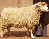 Weißköpfiges Fleischschaf /German Whiteheaded Mutton  Rare Breed Organic Roving 1.8oz