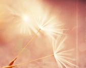 dandelion photograph, dandelion print, nature photography, peach decor, apricot, pink, girls room wall art, nursery prints, wishes