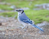 Blue Jay Photograph, Bird Photography, Bird Wall Decor, Fine Art Photography, Bird Prints, Nature, Woodland Decor, Office Decor, 8x10 Art