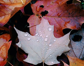 Raindrops, fall, leaf, maple, autumn, nature, square, leaves, orange, brown, red, photograph