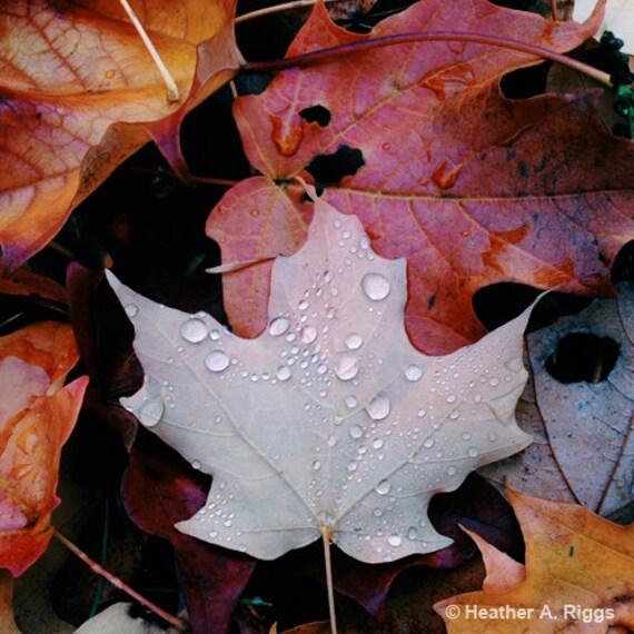 Raindrops fall leaf maple autumn nature square leaves
