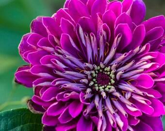 Purple Prince Zinnia