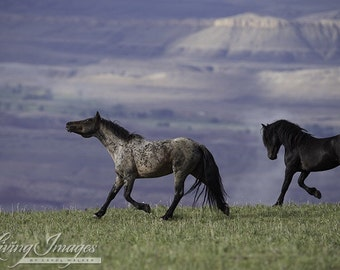 Custer and Galaxy II - Fine Art Wild Horse Photograph - Wild Horse - Pryor Mountains - Galaxy
