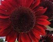 RARE Red Sun SUNFLOWER Seeds Heirloom Flowers Cottage Garden