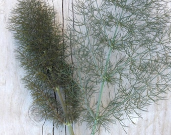 Bronze Fennel CLEARANCE Sale HALF PRICE Organic Heirloom Fragrant Sweet Anise or Licorice Flavored Culinary Herb Seed Rare