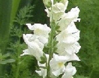Snapdragons White Snowflake English Cottage Garden Cut Flowers Annual Heirloom Seeds