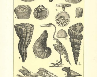 """Digital Download Antique """"Fossils of the Cretaceous"""" Illustration (c.1900s) - Instant Download of Fossils, Antique Illustrated Book Page"""