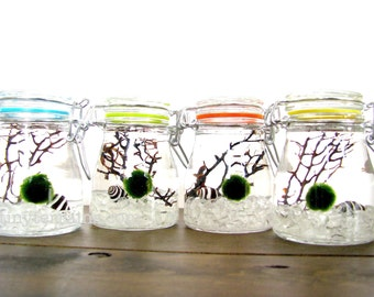 FREE SHIPPING - Marimo Terrarium: Marimo Moss Ball Small Rainbow Jar Aquarium, Several Colors Available