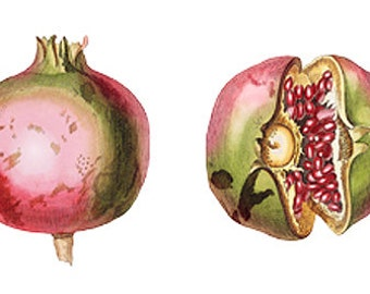 Pomegranate Fruit Vintage Art Illustration - Digital Image - Instant Download