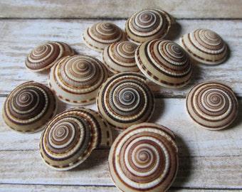 Beach Decor Seashells - Sundial Seashells 15 pcs for Nautical Decor, Beach Weddings or Crafts
