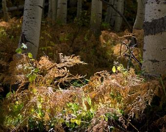 Forest floor aspen trees ferns Colorado fine art photograph print 16x24