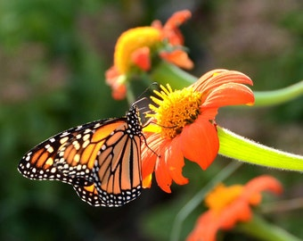 Mexican Sunflower Seed, Orange Sunflowers, Organic Tithonia, Butterfly Garden Seed, Heirloom Garden Seeds