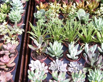 """3 Live Succulent Plants in 2"""" Pots with """"FREE"""" Shipping!!!"""