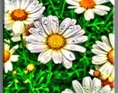 HDR high dynamic Daisy photo canvas print art work  35x35 inches
