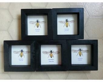 Original art, Honey Bee specimen painting.
