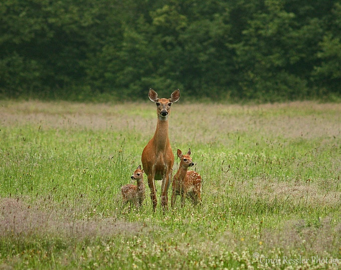 Doe with Twin Fawns, Photography, Animal Photography, Nature Photography