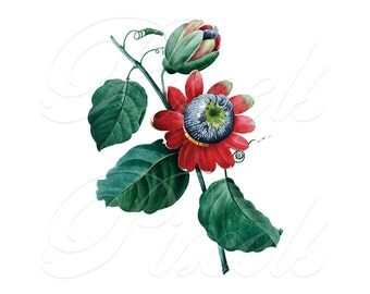 PASSIFLORA Instant Download, Red Flowers Clipart, Digital Images, Wedding Clipart, passion flower botanical illustrations Redoute 100