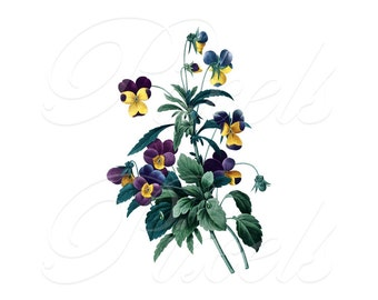 VIOLETS Instant Download Digital Downloads, Redoute botanical illustration Viola Tricolor, large digital image 184